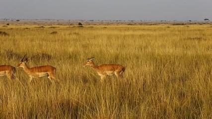 Wall Mural - Impala antelopes follow each other in the savannah. Africa. Kenya. Tanzania. Masai Mara National Park. Serengeti