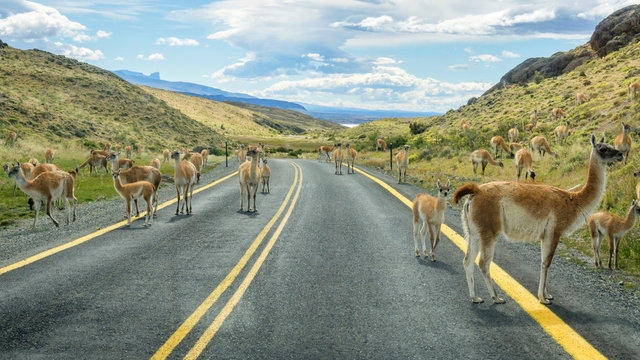 Lamas on the road of Torres del Paine National Park of Chile, Patagonia.