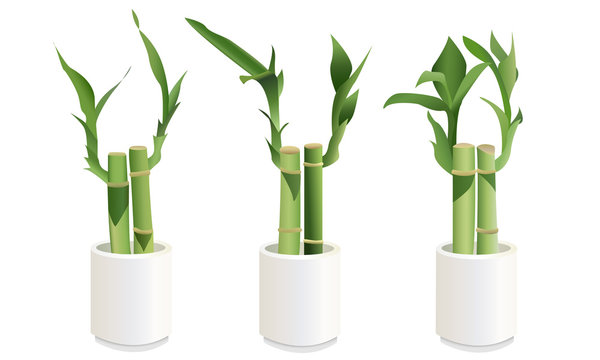 Lucky Bamboo Plants in Small White Pots