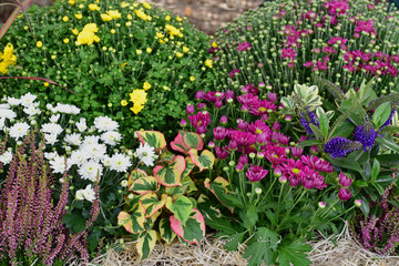 Autumn flowers. Garden with flowers and plants, chrysanthemum, red grass, heather.
