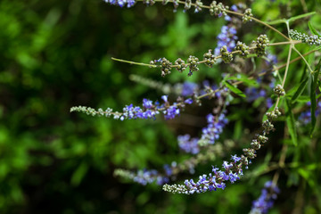 Purple flovers of vitex tree close up in green garden.