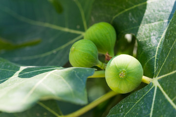 Bunch of green raw figs on the tree in a sunny day