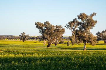 Field of Canola in Rural Australia