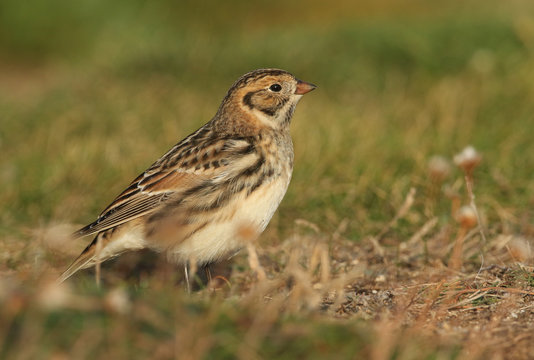 A rare Lapland Bunting, Calcarius lapponicus, feeding on seeds in the grass on a cliff. It is a passage migrant to the UK.