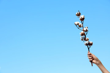 Woman holding branch of cotton plant against blue sky, closeup. Space for text