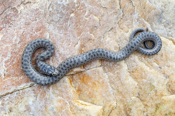 Joven culebra bastarda sobre una roca. Malpolon monspessulanus.
