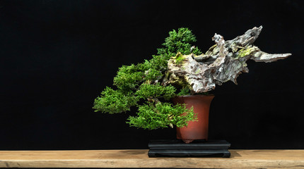 Japanese bonsai tree has a beautiful green color placed on a white wooden table. Waiting to send to customers as a gift in the festival to decorate the restaurant