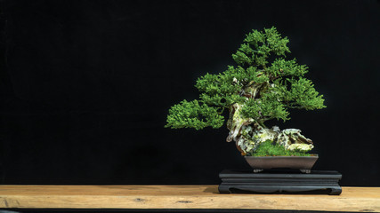 Tuinposter Bonsai Japanese bonsai tree has a beautiful green color placed on a white wooden table. Waiting to send to customers as a gift in the festival to decorate the restaurant