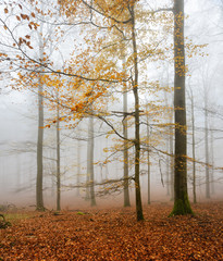 Forest of Beech Trees in Autumn, Fog and Rain, Last orange Leaves