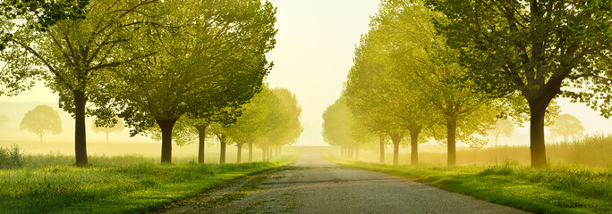 Wall Murals Honey Avenue of Linden Trees touched by the morning sun, Tree Lined Road through beautiful green Spring Landscape