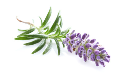 Lavender plant in closeup on white background