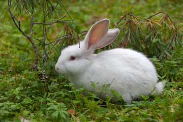 The fluffy rabbit sitting in the green grass on the forest glade