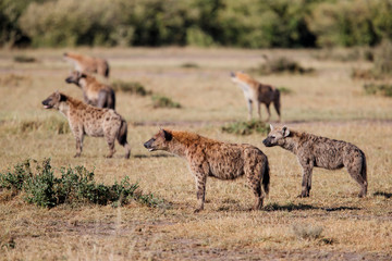 hyenas on a mission to take over a carcass from the lions in the Masai Mara Game Reserve in Kenya