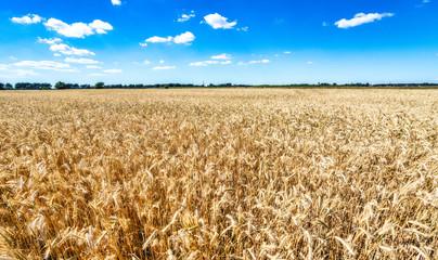 golden wheat field Fotoväggar