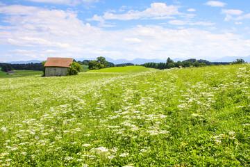 beautiful Apiaceae flower landscape