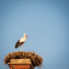White stork in his nest on a roof