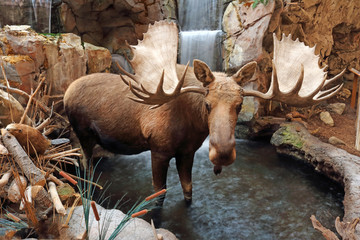 Bull moose standing in stream by a waterfall. Wall mural