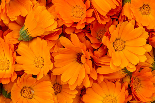 Orange calendula flowers. Bright natural background. The medicinal plant Calendula officinalis is commonly known as marigolds.