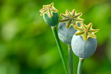 Close-up on three Poppy Capsule (Seed Pod). Shallow depth of field, summer mood, tender photo for postcards, invitations