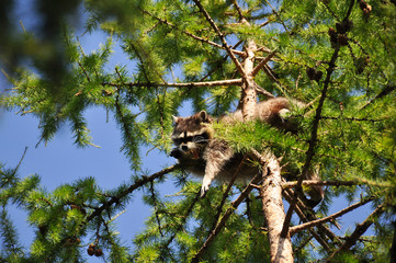 Raccoon sitting high in a tree in the zoo