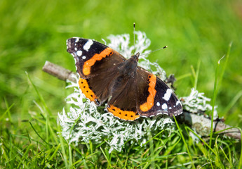 Vanessa butterfly in the garden
