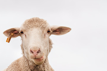 A white sheep, face only, chewing, looking at camera, isolated, against white background, copy space