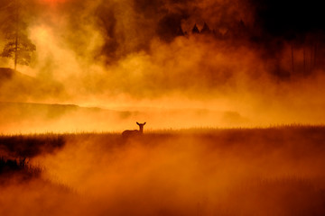 Elk Standing Out in Meadow Near River with Morning Steam Mist Sunrise