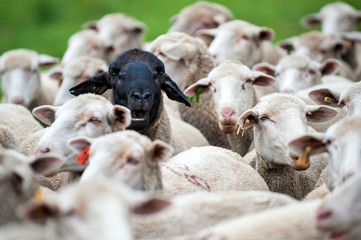 Herd of sheep, all white, one has a black face, black sheep, stand out,