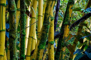 Bamboo forest with moss in tropical rainforest on Hawaiian Island