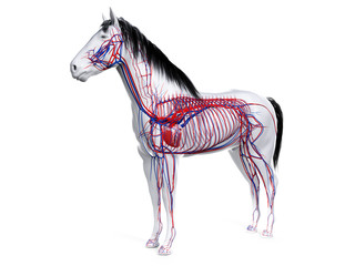 Fototapeta 3d rendered anatomy of the equine anatomy  - the vascular system