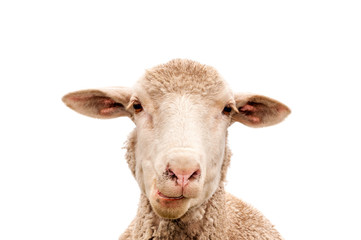 Fond de hotte en verre imprimé Sheep A white sheep, face only, chewing, looking at camera, isolated, against white background, copy space, clean edit,