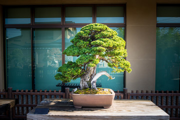 Photo sur Aluminium Bonsai Japanese bonsai tree in Omiya bonsai village at Saitama, Japan