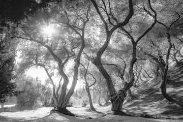 Olive grove, black and white art photo. Greece.