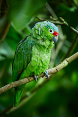 Red-lored Parrot, Amazona autumnalis. Parrot from deep rain forest. Portrait of light green parrot with red head. Wildlife scene from Costa Rica.