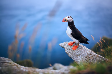 Beautifull portrait of Atlantic Puffin or Common Puffin. Bird in natural habitat on the island Runde, Norway. Wildlife scene.