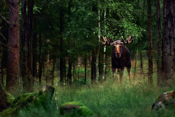 Big male Bull moose (Alces alces) in deep forest of Sweden. Big animal in the forest. Elk symbol of Sweden