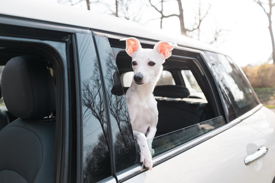 Little white dog going for a ride in a car.