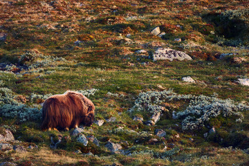 Animal in natural environment. Muskox (Ovibos moschatus) in the national park Dovrefjell - Sunndalsfjella. The most dangerous animal in Europe. Animal grazing on a mountain meadow.
