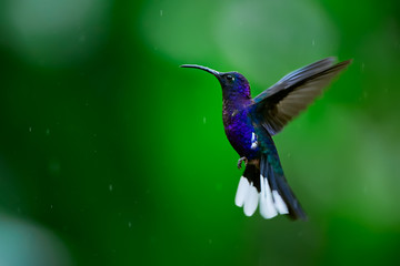 Hummingbird Violet Sabrewing flying on blured background. A beautiful shot of a hummingbird in flight. Wildlife scene from Costa Rica.