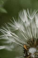 Macro shoot of dandelion inside the forest