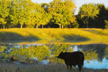 Wall Mural - Black Angus cow in rural autumn landscape, Texas countryside with fall color.