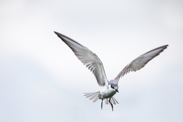 Whiskered tern in flight on cloudy day with spread wings artistic conversion Fotoväggar