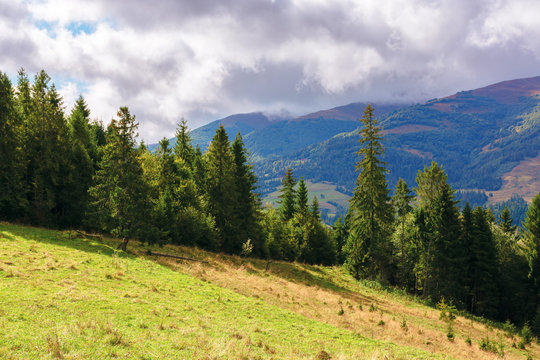 grassy meadow on the hillside. spruce forest on top of a hill. borzhava mountain ridge in the distance beneath a cloudy sky. wonderful sunny weather of september. beautiful carpathian scenery