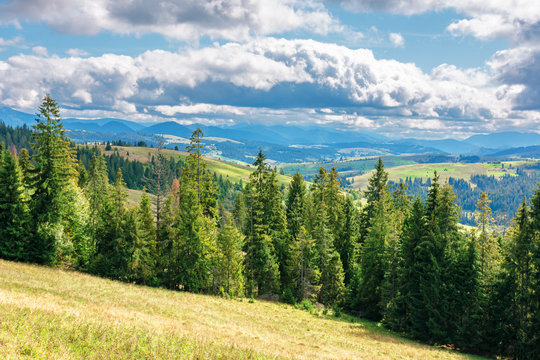 coniferous forest on the grassy hill. great view in to the distant gorgany ridge. wonderful sunny weather of september day. location ukrainian carpathinans