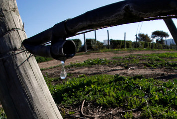 A drop of water is seen falling on a planting in a farm in Casablanca, on the outskirts of Valparaiso