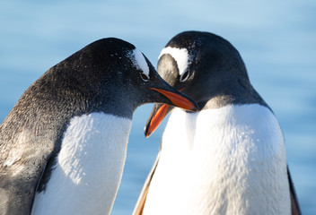 Gentoo Penguins Cuddling