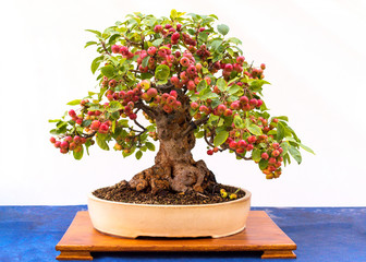 Small bonsai tree taken from an apple tree.