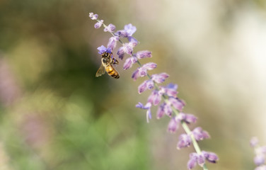 Honey Bee Foraging Nectar from Purple Flower