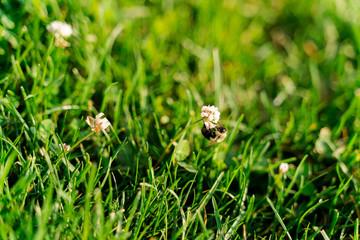 Honey Bee Foraging Nectar from White Flower