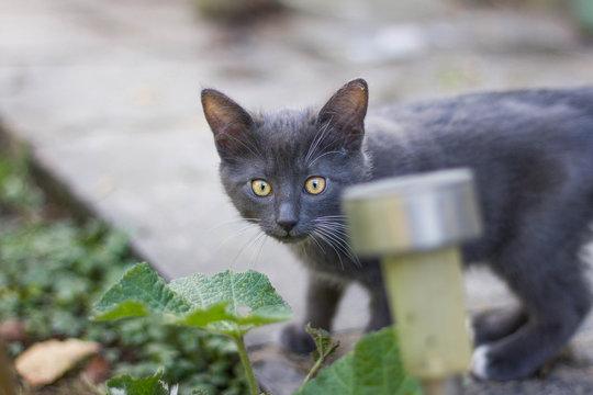 bébé chat gris